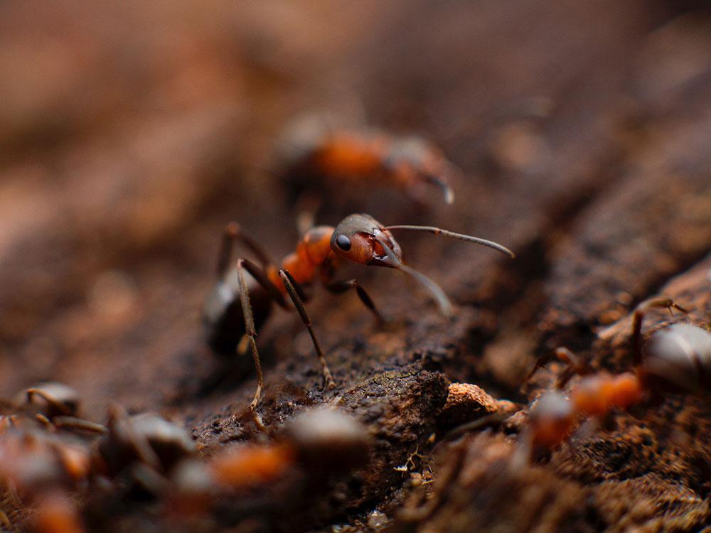 eliminar hormigas