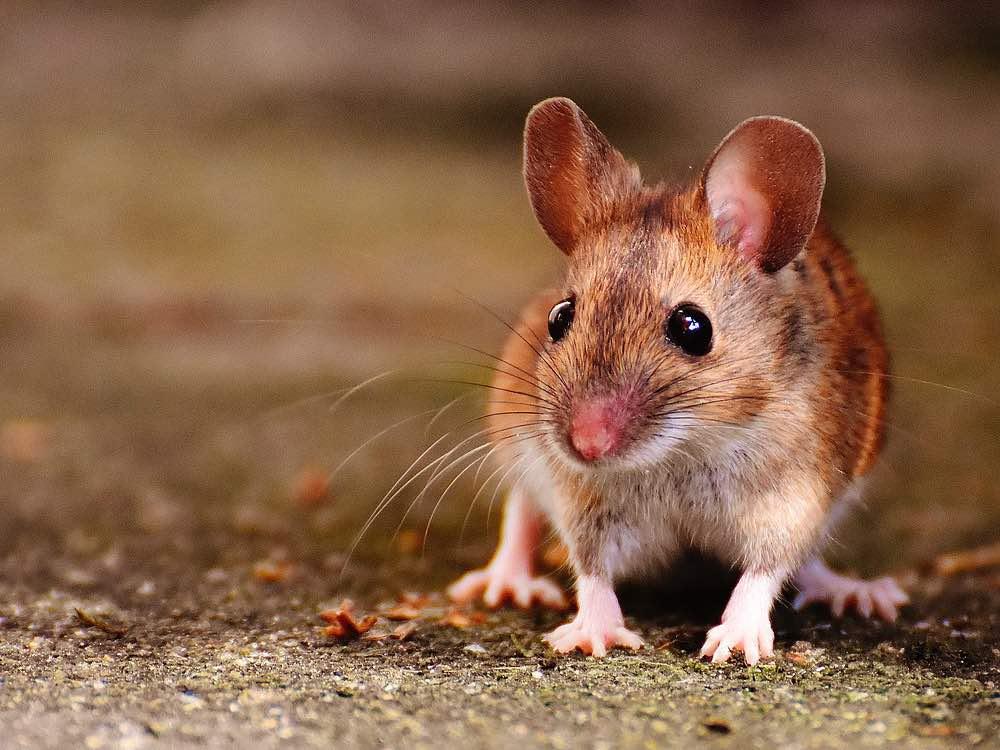 plaga ratones y roedores