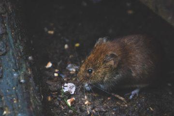 consejos eliminar plaga ratas