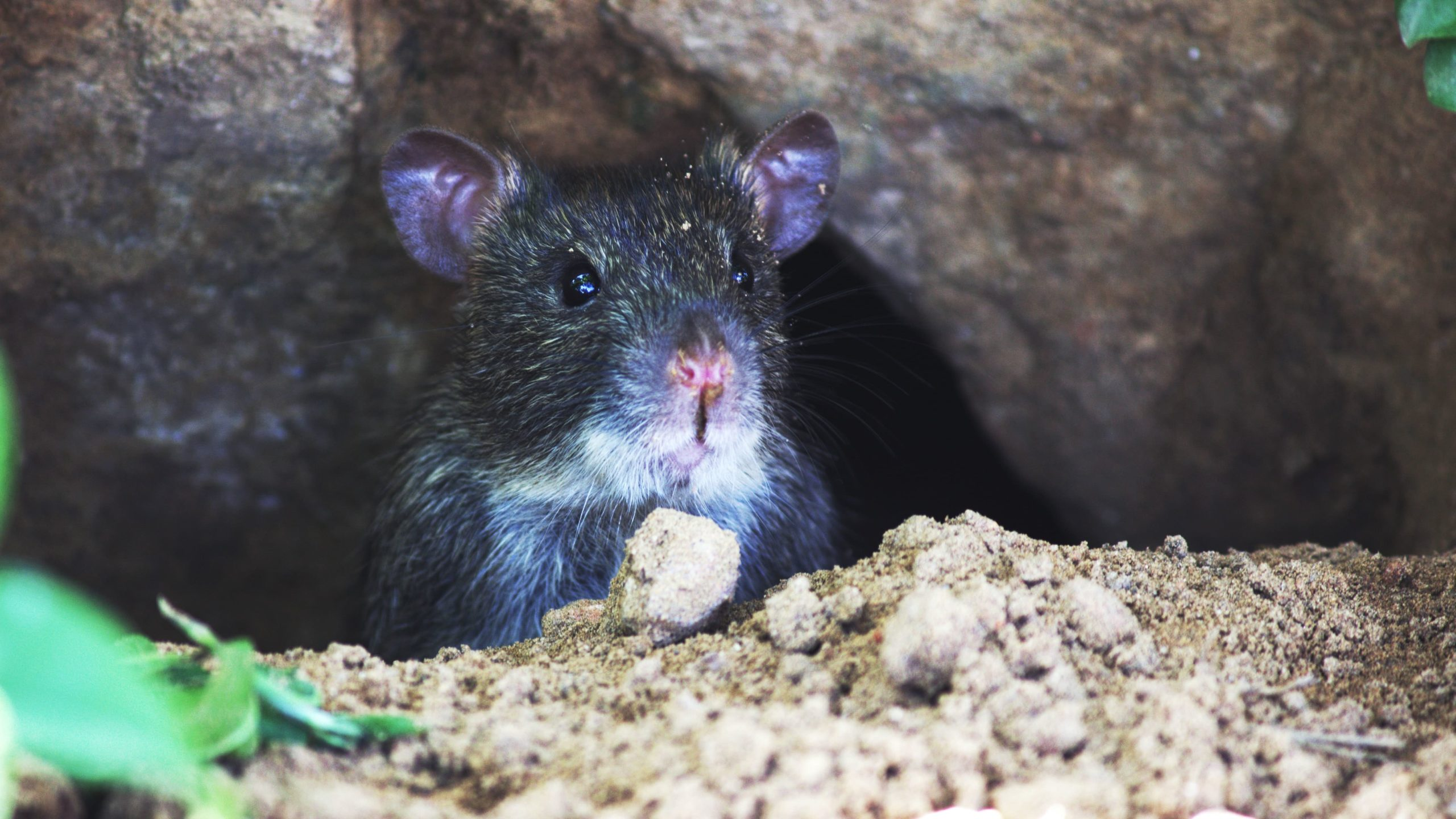 eliminar plaga ratas