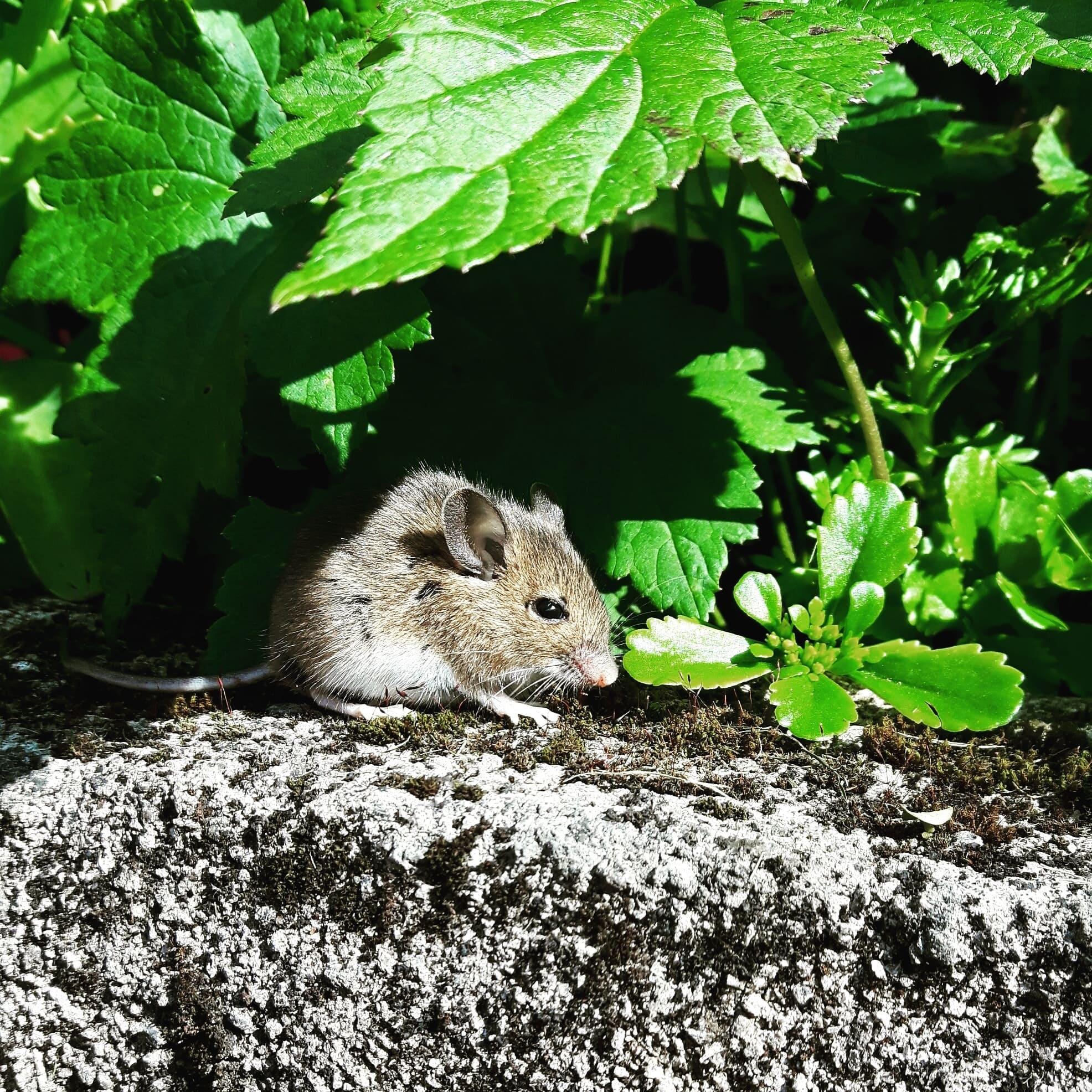 peligros plaga ratas
